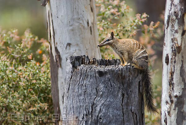 Numbat (Myrmecobius fasciatus) foraging in old logs for ants, only comes out when sunny. Strict anteater. Dryandra woodland, Western Australia