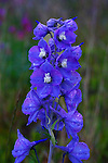 IMAGES OF THE YUKON,CANADA , LARKSPUR