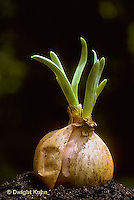 HS16-001b  Onion - onion bulbs showing new shoots, asexual reproduction
