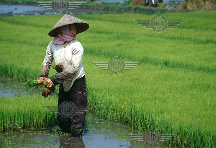 Vietnam, Mekong Delta..Agriculture..Peasant woman collecting rice shoots, for later transplanting..©Mark Henley