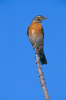 American Robin, Turdus migratorius, male on Chinaberry Tree (Melia azedarach), Lake Corpus Christi, Texas, USA, March 2003