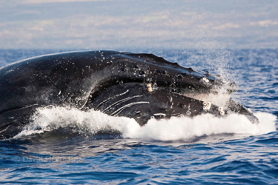 The pleats inside the mouth of this breaching Humpback whale, Megaptera novaeangliae, are visible as it smashes into the surface of the Pacific off, Maui, Hawaii.