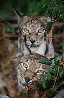 657144016 portrait of a pair of canadian lynx felis lynx in plants and tree limbs- animal is a wildlife rescue - species is endangered in its northern north america habitat