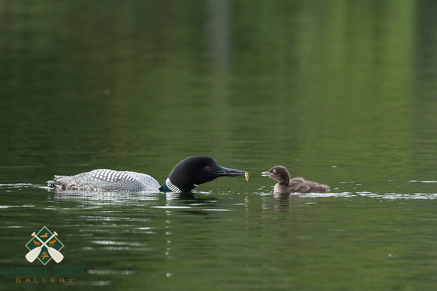 &quot;Loon Feeding Chick&quot;<br />