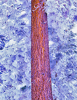 Close up of hoar frost and snow on ponderosa pine. Fremont National Forest, Oregon.