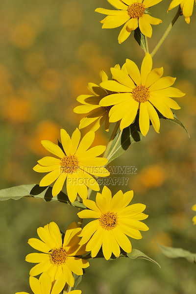 Maximilians Sunflower (Helianthus maximilianii), blooming, Texas, USA