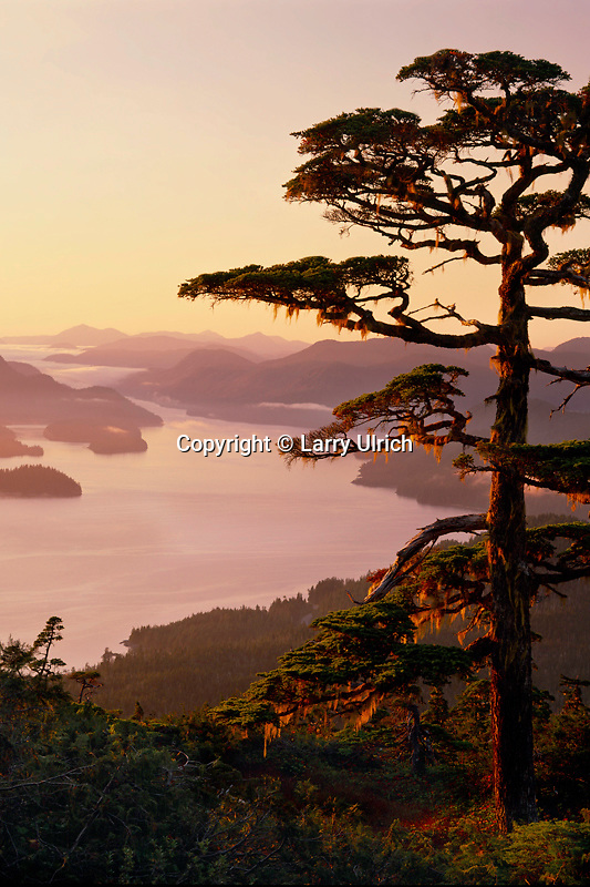 Lodgepole pine<br /> Sitka Sound and Olga Strait<br />   from Harbor Mountain,  Tongass National Forest<br /> Baranof Island,  Southeast Alaska