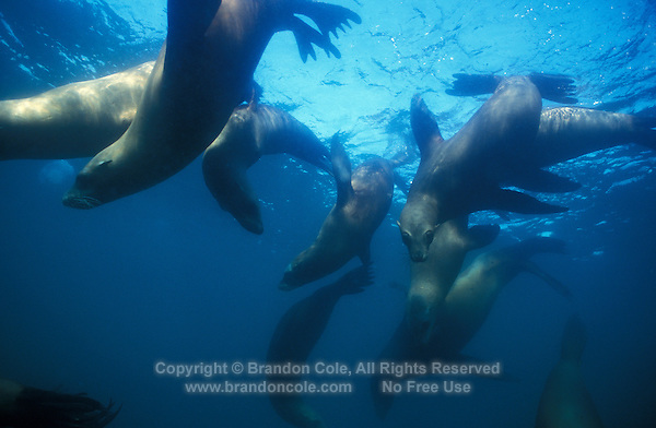 ng221. California Sea Lions (Californianus zalophus) underwater. California, USA, Pacific Ocean..Photo Copyright © Brandon Cole. All rights reserved worldwide.  www.brandoncole.com..This photo is NOT free. It is NOT in the public domain. This photo is a Copyrighted Work, registered with the US Copyright Office. .Rights to reproduction of photograph granted only upon payment in full of agreed upon licensing fee. Any use of this photo prior to such payment is an infringement of copyright and punishable by fines up to  $150,000 USD...Brandon Cole.MARINE PHOTOGRAPHY.http://www.brandoncole.com.email: brandoncole@msn.com.4917 N. Boeing Rd..Spokane Valley, WA  99206  USA.tel: 509-535-3489