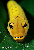 LE02-009z  Butterfly - Spicebush Swallowtail Caterpillar face and eye spots - Pterourus troilus