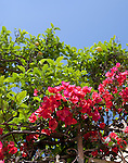Bougainvilla and lemon trees in Basilicata, ITALY