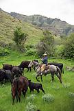 USA, Oregon, Joseph, Cowboy Todd Nash ropes a calf in the canyon by Big Sheep Creek in Northeast Oregon