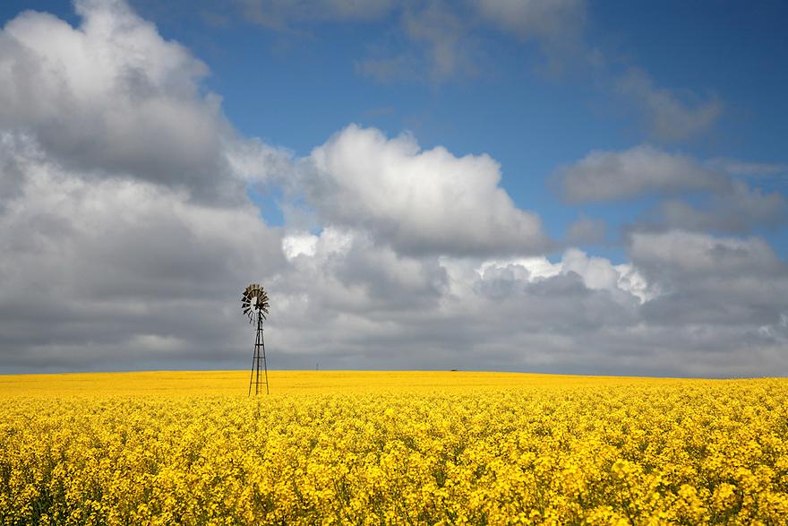 Canola Crops Australia