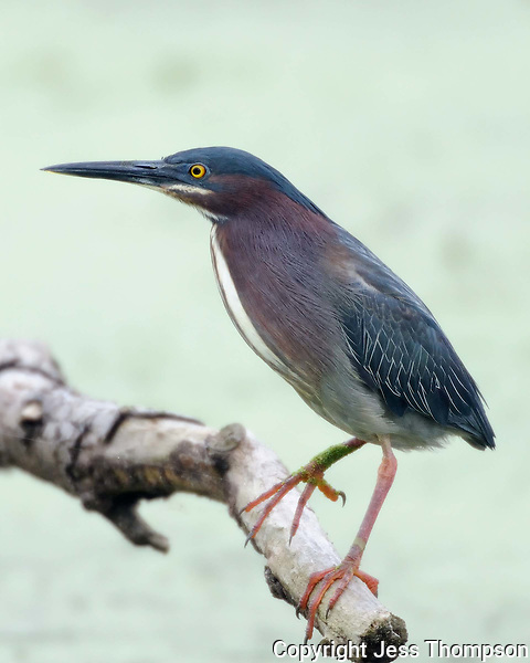 Green Heron at Brazos Bend State Park, TX
