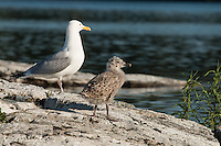"""Herring Gull Chick""<br />