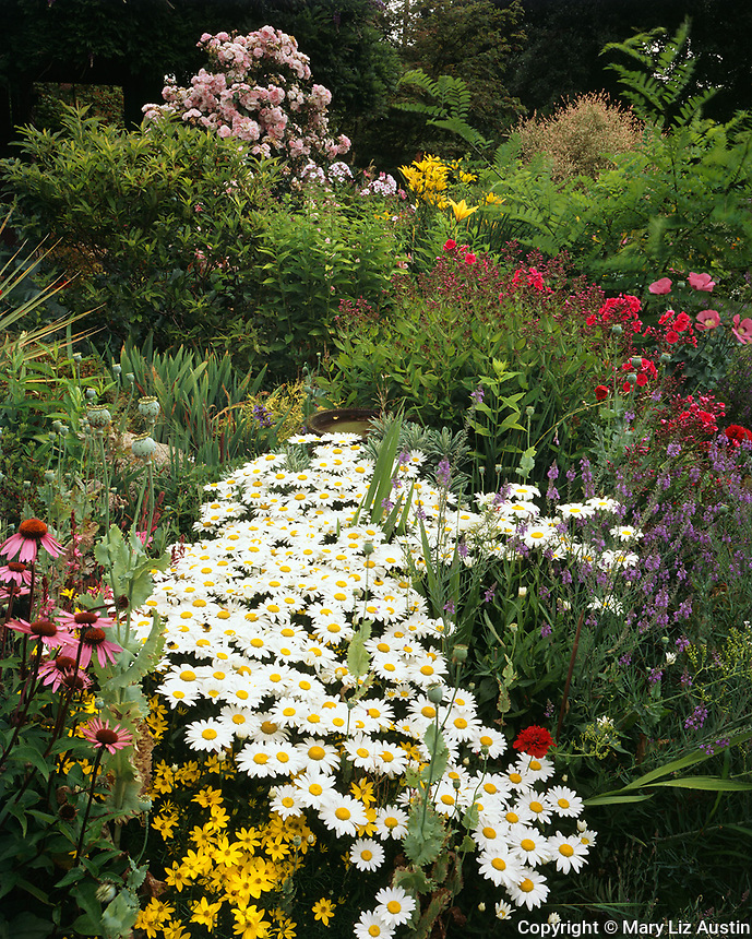 Vashon Island, WA:  A stream of shasta daisies in a perennial garden with echinacea, coreopsis, poppies, phlox, lilies, and rose bushes