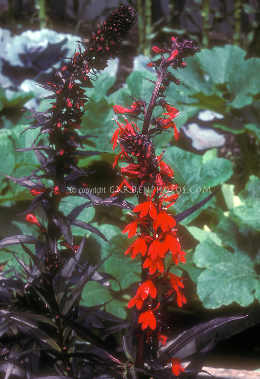 Cardinal Flower Lobelia cardinalis 'Queen Victoria', native American wildflower, showing dark foliage and red flowers, nativar