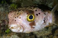balloonfish, Diodon holocanthus, Maria La Gorda, Cuba, Caribbean Sea, Atlantic Ocean