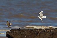Black-headed Gull, Chroicocephalus ridibundus, pursuing Redshank, Tringa totanus in kleptoparasitic pursuit.