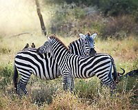 Zebras in harmony with one another, and two oxpeckers, as the sun rises in the Serengetti, Africa.