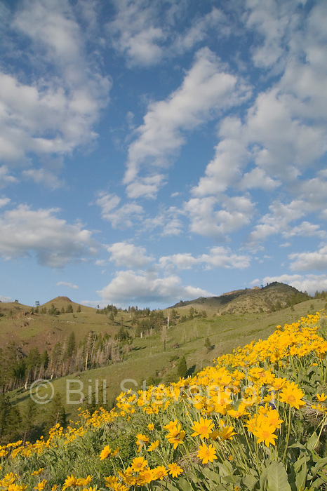 A picture of a hillside of yellow Arrowleaf Balsamroot flowers in the Sierras. Balsamorhiza sagittata