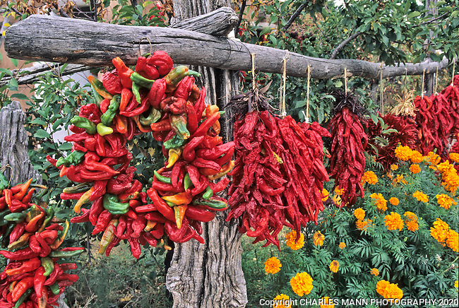 Colorful red chiles like these hanging above some marigolds at a fruit stand in Velarde, abound in September during the fall harvest in New Mexico.