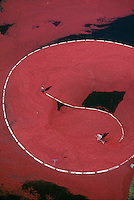 Cranberry harvest, aerial view, Wareham, MA
