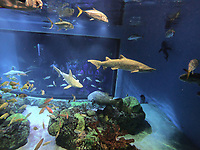 NWA Democrat-Gazette/FLIP PUTTHOFF <br /> Sharks, grouper and other ocean fish swim July 6 2018 in front of divers during an Out to Sea Shark Dive at Wonders of Wildlife National Museum and Aquarium in Springfield, Mo. Divers don wet suits and diving helmets, then go underwater in a protected cage with sharks and other fish with teeth.