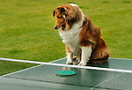 Toby, miniature collie, on ping pong table.