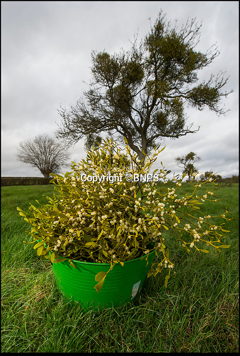 BNPS.co.uk (01202 558833)<br /> Pic: PhilYeomans/BNPS<br /> <br /> The Mistletoe is abundant this year, with crisp white berries although only the best has the green leaves.<br /> <br /> Retired policeman Simon Davies is rushed off his feet after branching out into an unlikely new profession - collecting and selling English mistletoe.<br /> <br /> After hanging up his bobby's hat the former detective constable now plies his trade harvesting the traditional festive plant from disused apple orchards.<br /> <br /> During the short two-month mistletoe season Simon will have to make dozens of trips to orchards surrounding the Worcestershire market town of Tenbury Wells, the historic home of English mistletoe.<br /> <br /> Simon's business the English Mistletoe Company sells 5kg boxes of mistletoe for &pound;40 and high profile clients have included luxury handbag company Mulberry, top fashion designer Margaret Howell and cancer charity Maggie's.