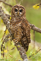Northern Spoted Owls are rare and in decline