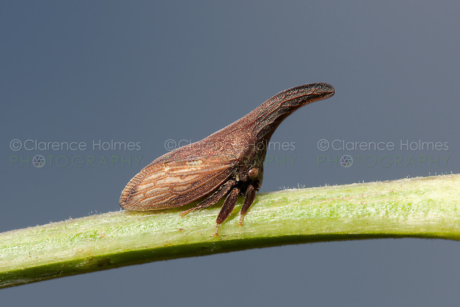 Widefooted Treehopper (Campylenchia latipes), High Point State Park, Sussex County, New Jersey.