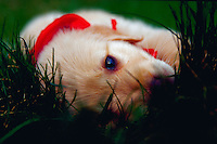 Close up of a little puppy lying on his side in the grass.