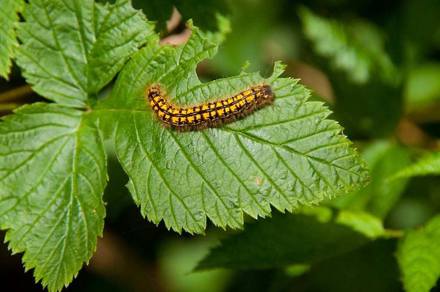 Zebra Caterpillar (Ceramica picta) on Fragrance Lake Trail, Larrabee State Park, Bellingham, Washington, US
