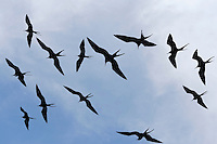 Great Frigatebird (Fregata minor), group in flight, Seymour Norte Island, Galapagos Islands, Ecuador, South America