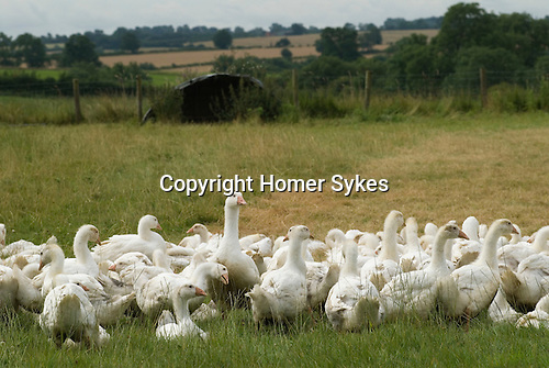 Fosse Meadows farm, North Kilworth leicestershire. UK. Award winning free range chickens and Turkeys and Gees