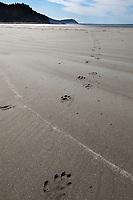 River otter tracks on a sandy beach, Kayak Island, Gulf of Alaska, southcentral, Alaska.