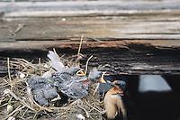 Barn Swallows, adult feeding hungry chicks, Thompson's Beach, New Jersey