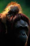 Bornean orangutan and baby, Indonesia