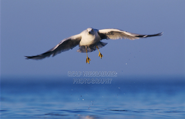 Ring-billed Gull, Larus delawarensis,adult in flight, Rockport, Texas, USA