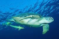 Green turtle, latin name Chelonia mydas, live sharksucker fish, latin name Echeneis naucrates, off Marsa Alam coast, Egypt, Red Sea,