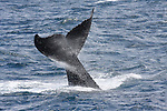 tail-lobbing humpback whale
