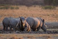 Group of white rhino enjoying a mud bath.
