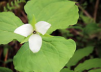 A white Trillium with huge leaves blossoms in the spring at the smoky mountain national park, America - Free Nature Stock Image.