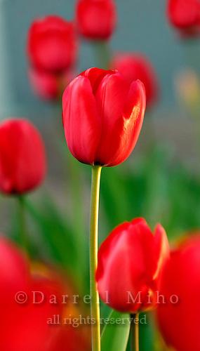 April 11, 2008; Tokyo, Japan - Tulips in Aoyama...Photo credit: Darrell Miho