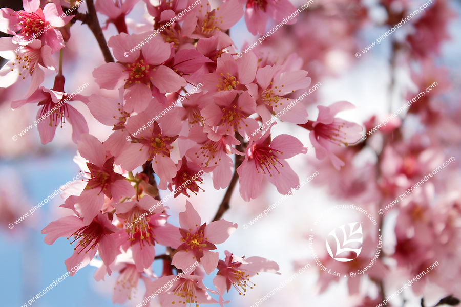 Stock photo - Pink cherry blossom flowers bunch hanging on a branch in Georgia America.