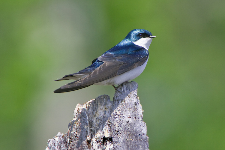 Tree Swallow perched on a snag