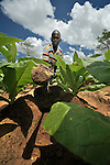 Robert Gondwe farms tobacco, an important cash crop in Chigumba, a village in northern Malawi which has been hit hard by drought and hunger. Tobacco has traditionally been grown, in addition to corn, as a way for families to earn cash. Yet falling tobacco prices have made it a less lucrative crop.