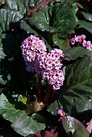 Bergenia 'Eden's Magic Giant'