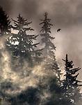 USA, Alaska, Glacier Bay National Park, ravens, spruce, fir, hemlock