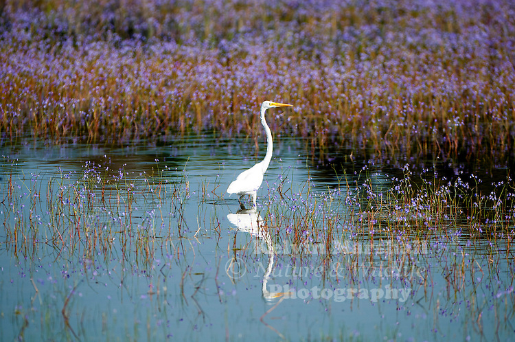 Great egret (Ardea alba) -  also known as common egret, large egret or (in the Old World) great white heron,is a large, widely distributed egret. Distributed across most of the tropical and warmer temperate regions of the world. Bundala National Park - Sri Lanka.